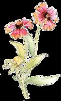 Indian Blanket Flower_2 copy.png