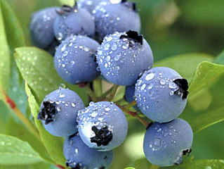 BLUEBERRIES MAY BE LITTLE BUT THEY SURE ARE MIGHTY!!!!
