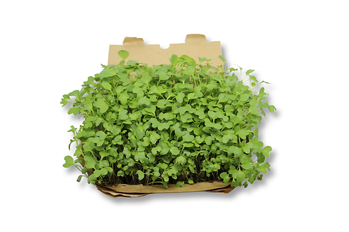 Kit cultivo microgreens - Couve