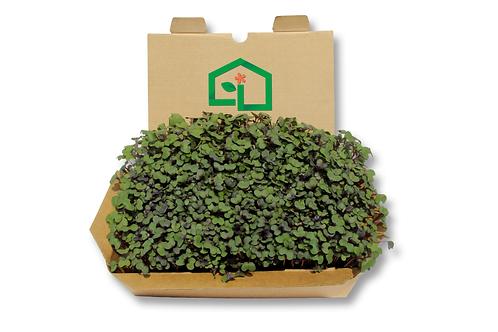 Kit cultivo microgreens - Repolho Roxo