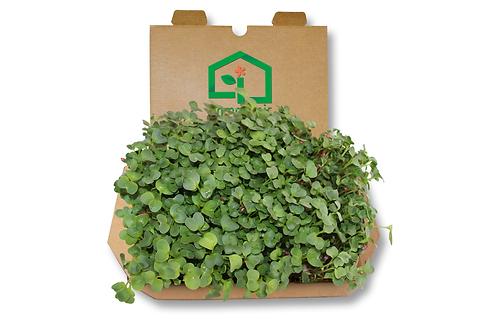 Kit cultivo microgreens - Rabanete