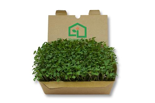 Kit cultivo microgreens - Brócolis