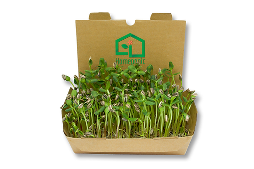 Kit cultivo microgreens - Girassol