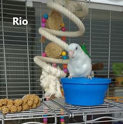 Rio Gross Bird text.png