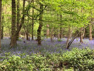 Bluebells in Staffhurst Woods, Merle Common, Surrey