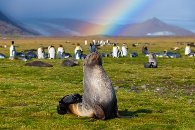 Antarctic fur seal and rainbow - South Georgia