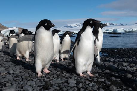 La marche des manchots Adélie - Antarctique