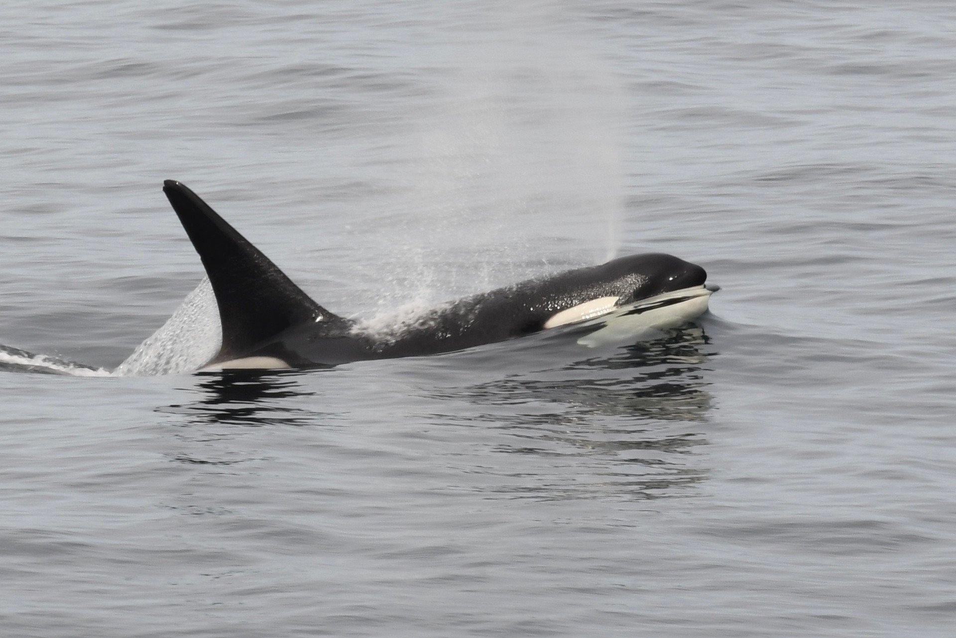 Ecotype A orca, Beagle Channel