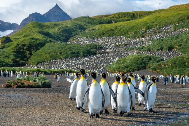 The crowd - King penguins at their colony in South Georgia