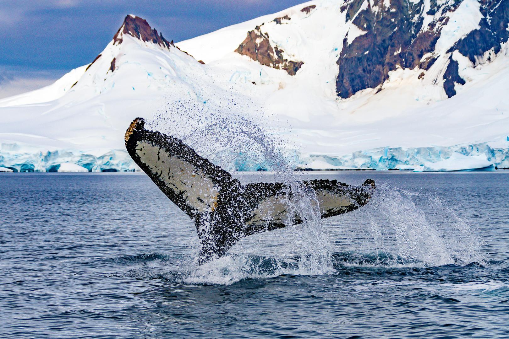 Humpback whale fluke, Antarctica | Laura Jourdan Photography