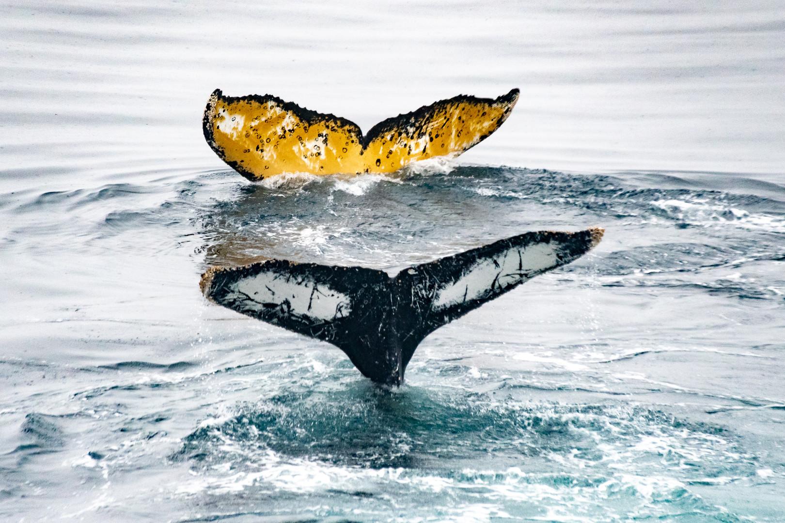 Humpback whale flukes, Antarctica | Laura Jourdan Photography