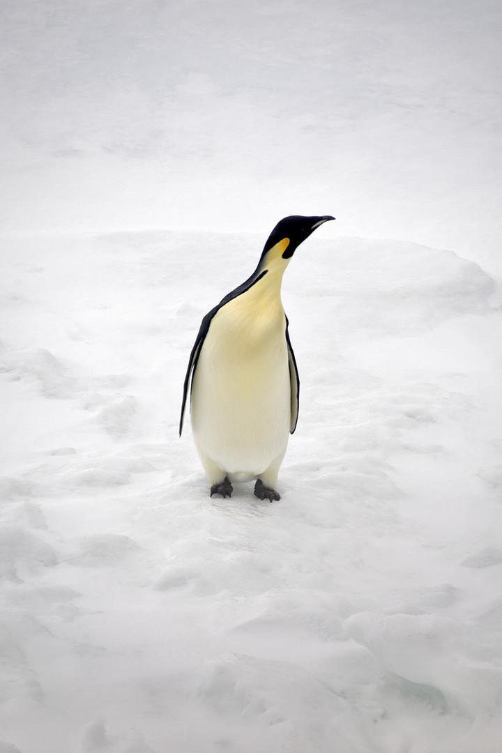 Emperor penguin | Laura Jourdan Photography