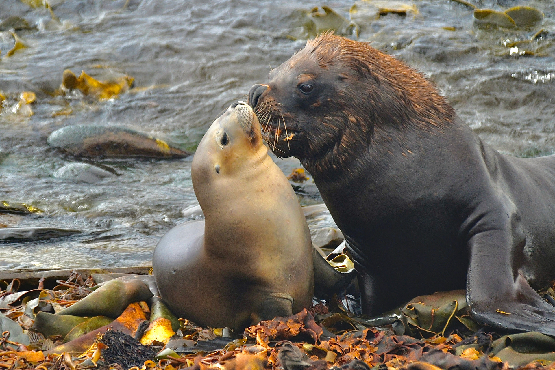 South American sea lions, Falkland islands