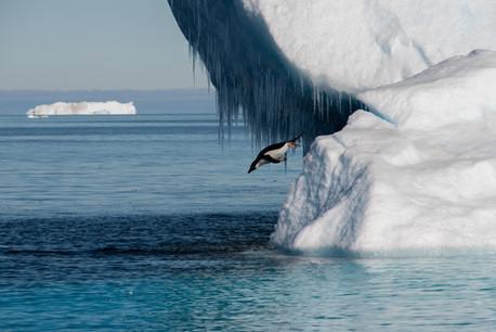 Manchot Adélie sautant d'un iceberg - Mer de Weddell