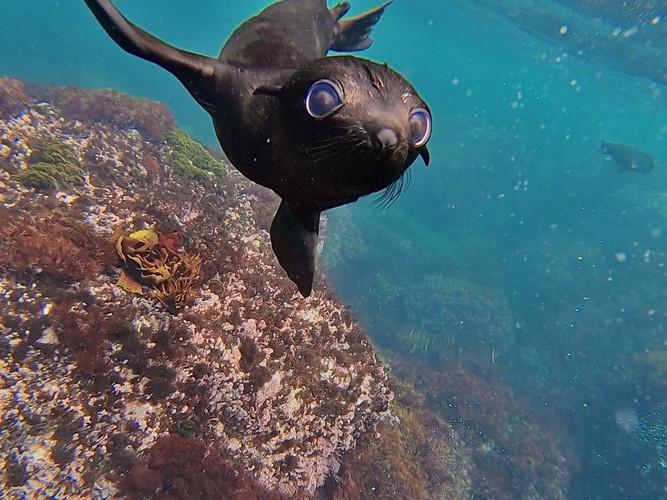 Jeune otarie à fourrure sub-antarctique, Tristan da Cunha
