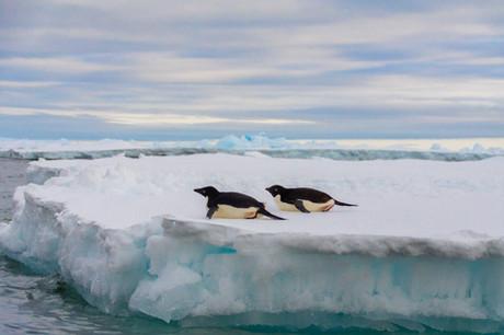 Manchots Adélie sur la banquise - Mer de Weddell