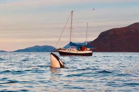 Orque et voilier - Norvège