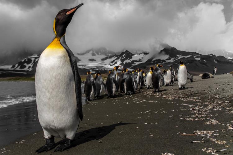 King penguin, South Georgia  | Laura Jourdan Photography