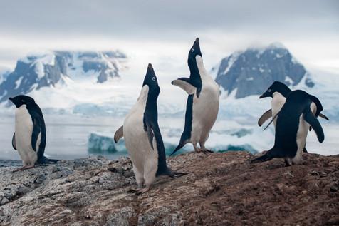Adélie penguins at their colony - Antarctica