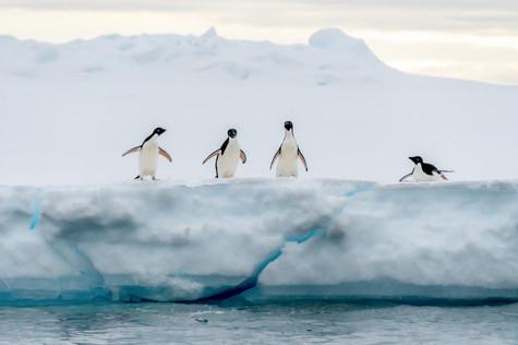 Adélie penguins - Weddell sea