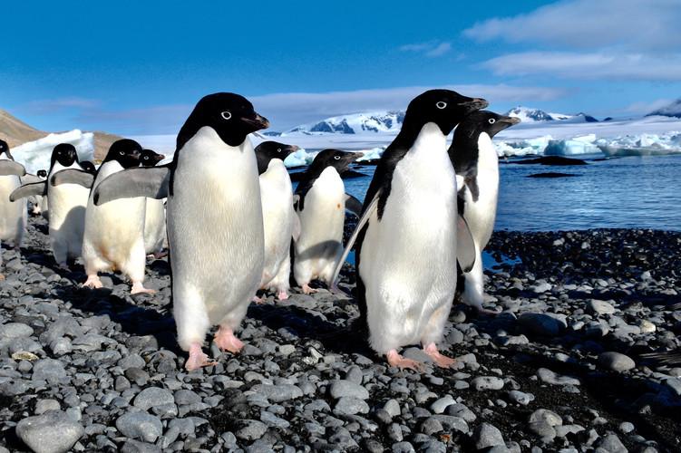 Adélie penguins, Antarctica | Laura Jourdan Photography
