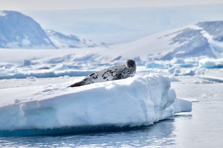 Phoque à capuchon sur la glace - Groenland