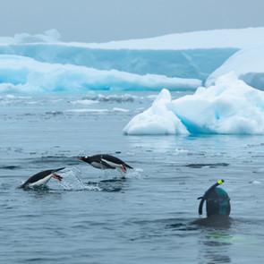 Photographing penguins underwater.