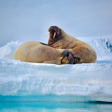 Walruses on ice - Svalbard