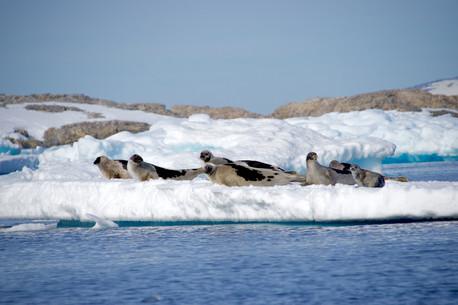 Famille de phoques du Groenland