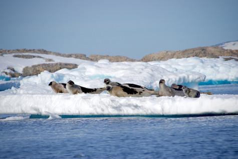 Harp seal family - Greenland