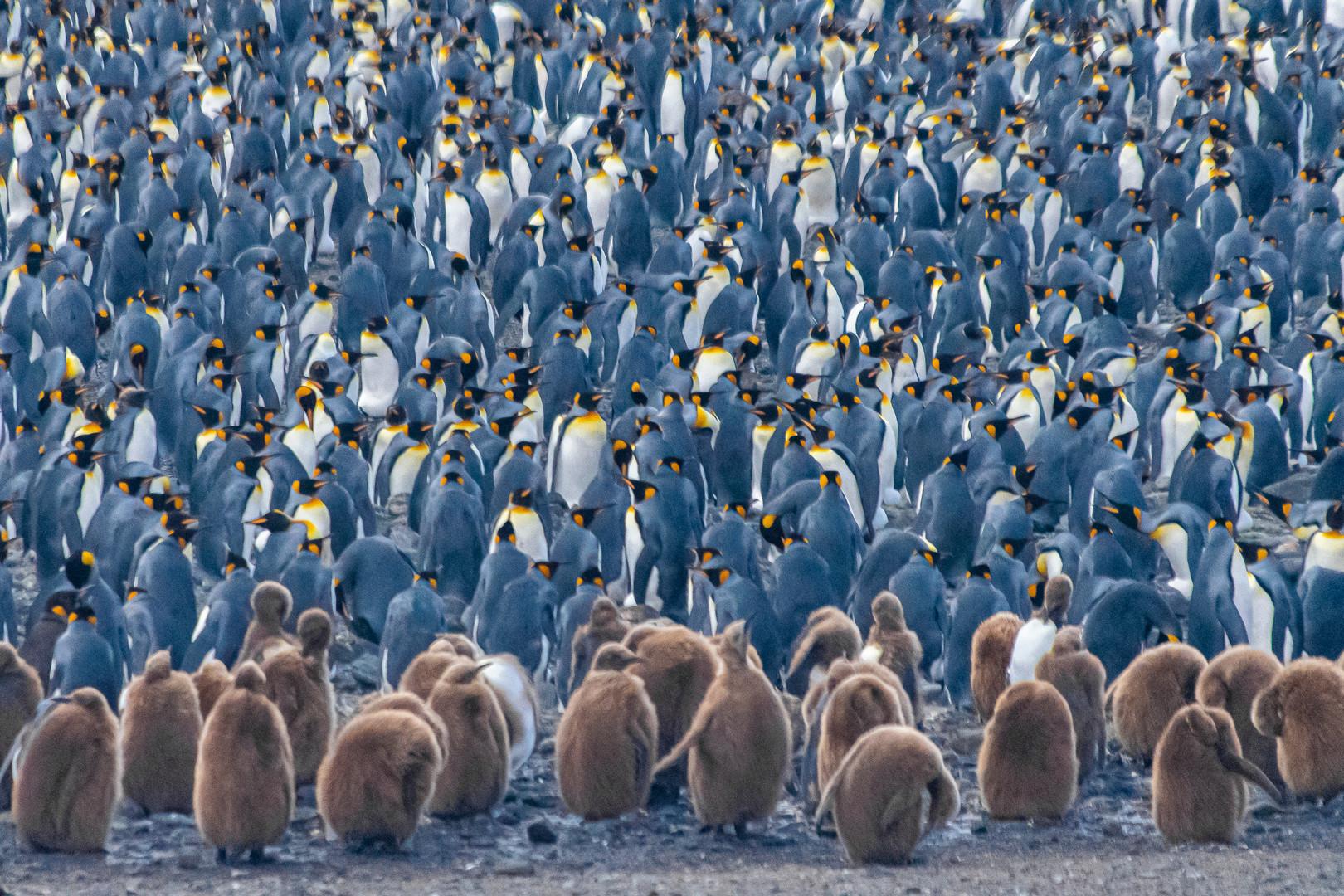 Crowd of king penguins, South Georgia  | Laura Jourdan Photography