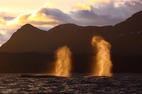 Souffles - Baleines à bosse en Norvège