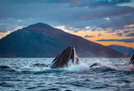 Baleine à bosse et harengs - Norvège
