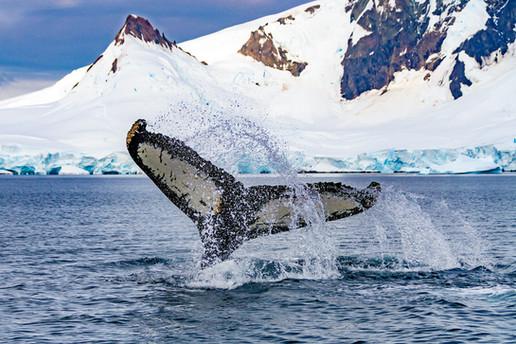 Queue de baleine à bosse - Antarctique