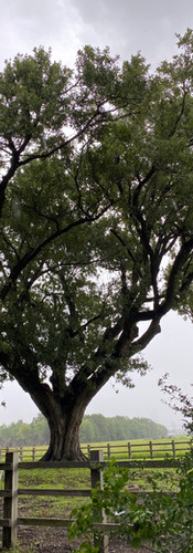 Historic Oak Trees