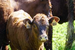 Vaches allaitantes