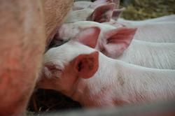 Porc bio