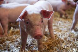 Porc bio elevage