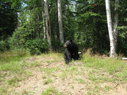 Bears observation