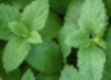 Lemon_Balm_Foliage.JPG