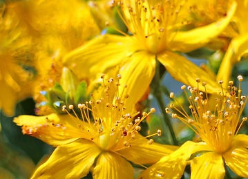 Bloom-St-Johns-Wort-Hypericum-Perforatum