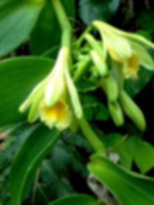 Vanilla_planifolia_(6998639597).jpg