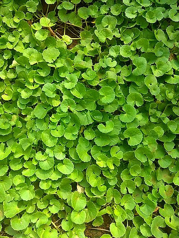 450px-Centella_asiatica_commonly_known_a