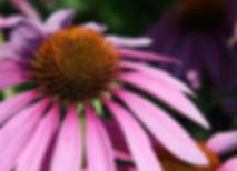 CH_Echinacea_purpurea_edited_edited.jpg