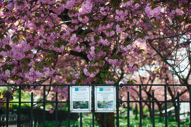 Cherry Blossoms at BBG