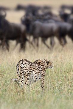 cheetah-PVM7BN8.jpg