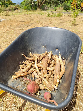 harvested cassava.jpg