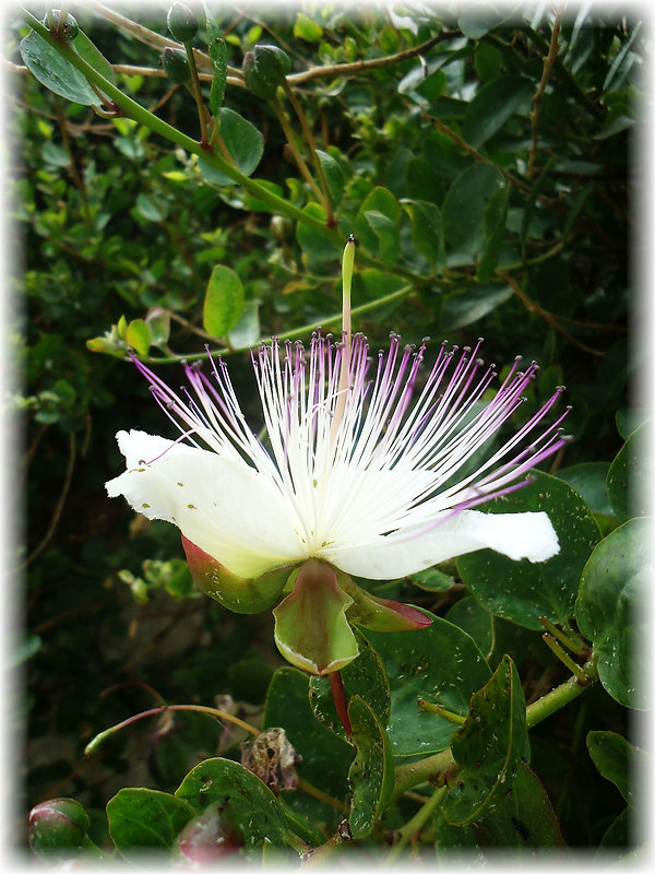 Flower capers