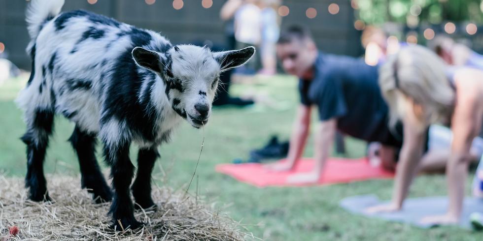 Goat Yoga at Milk and Honey Acres
