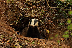 European Badger copyright J Lees